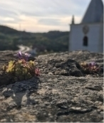 plant growing out of rock crevaces with church in background